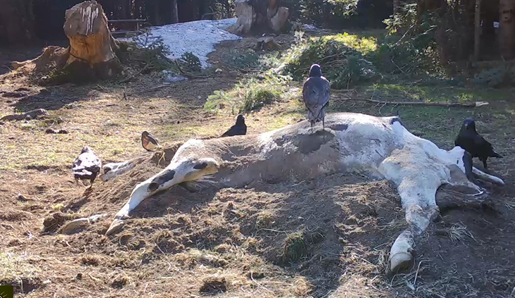 Uludağ'da çiftçinin ölen ineği ayılara verildi ile ilgili görsel sonucu