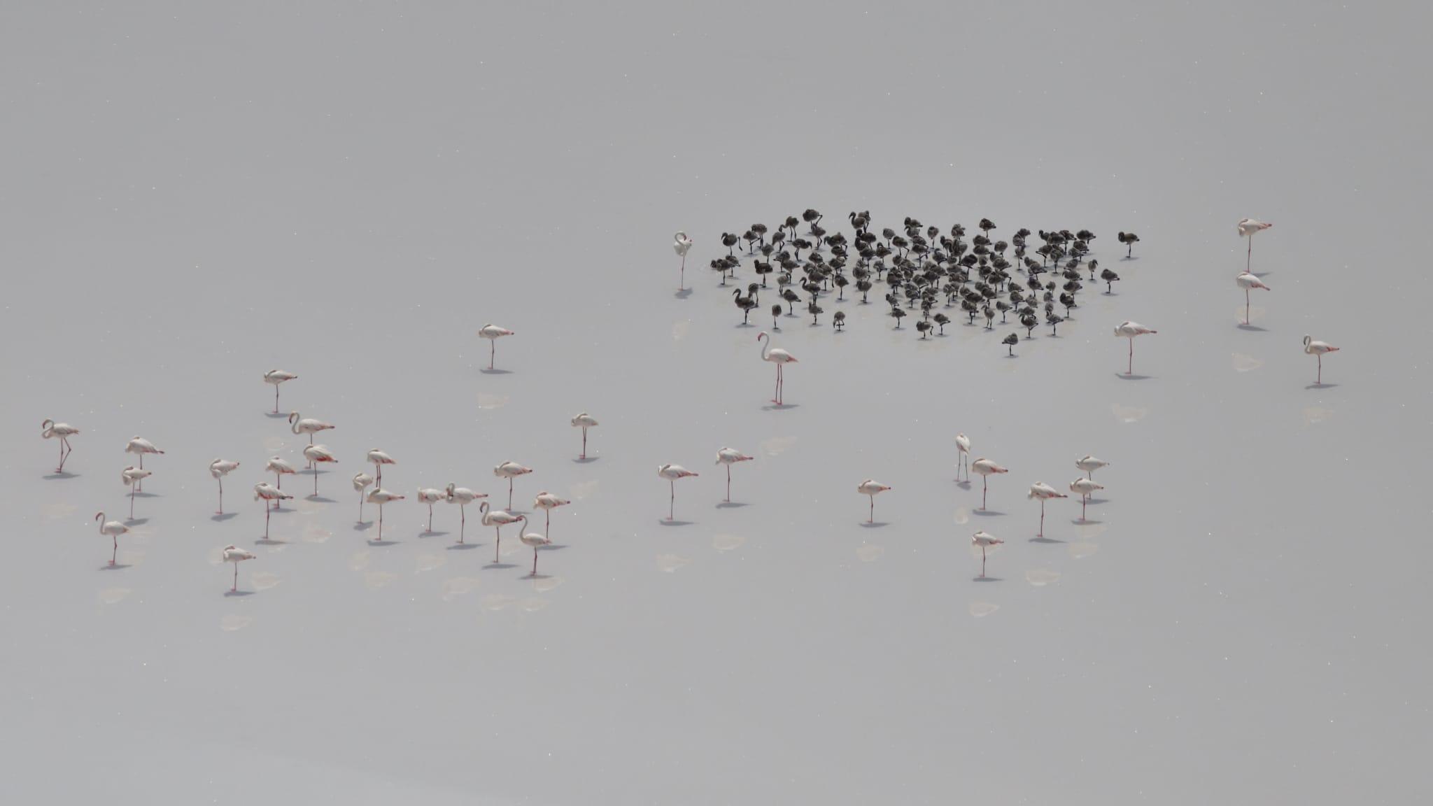 tuz-golunun-yavru-flamingolari-yumurtadan-cikti-001.jpg