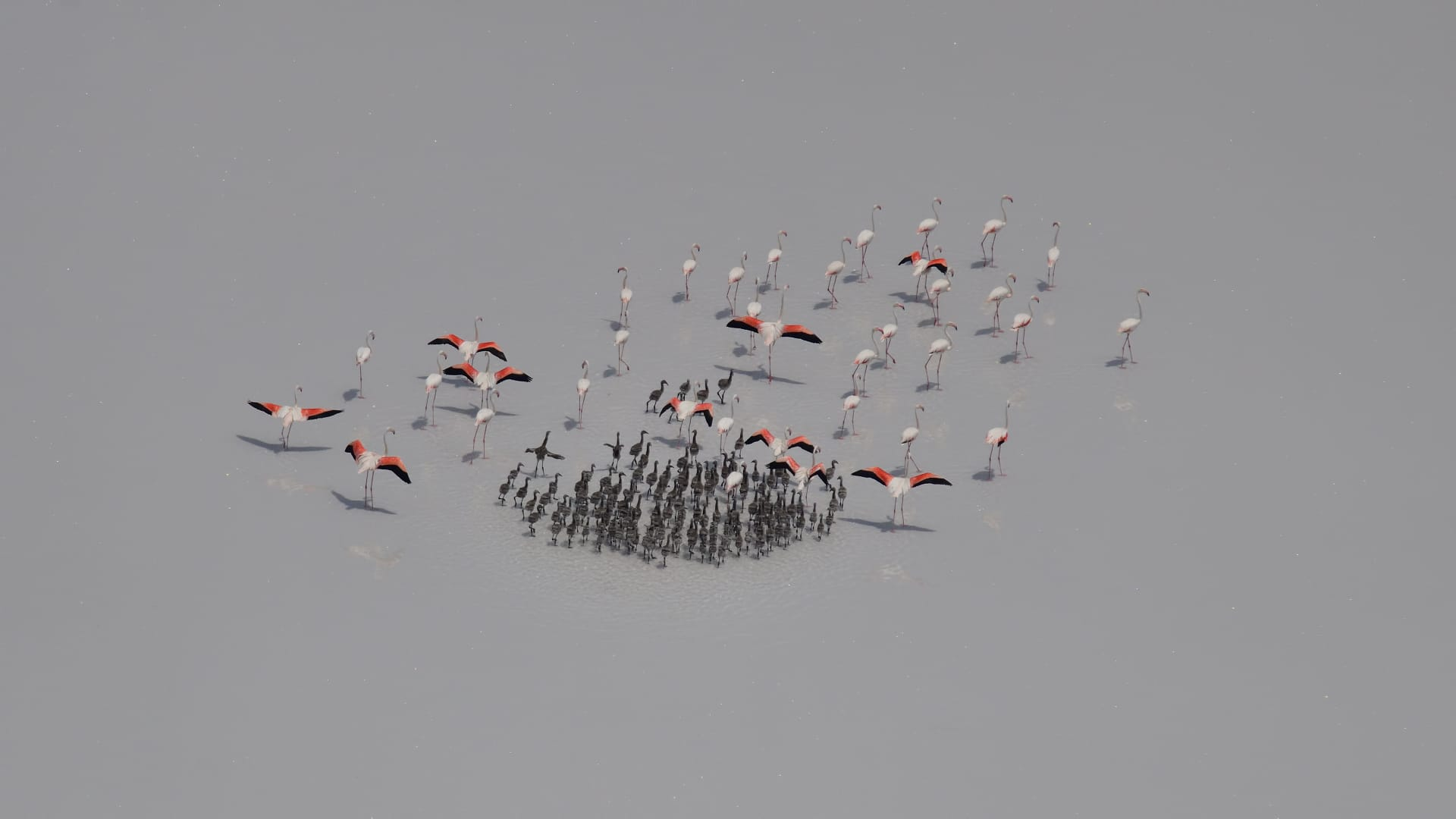 tuz-golunun-yavru-flamingolari-yumurtadan-cikti-002.jpg